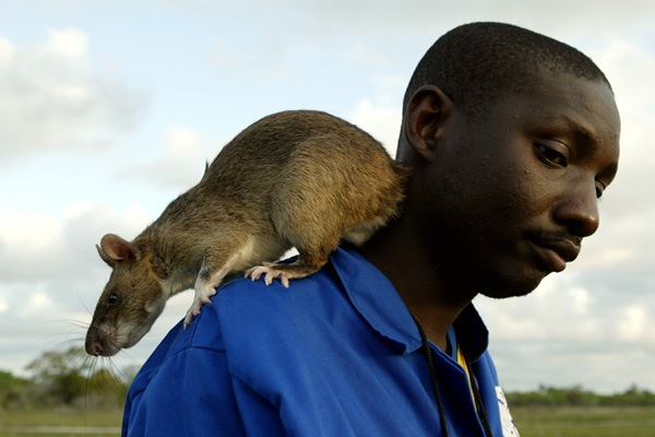 Rats the Size of House Cats Invade the Florida Keys