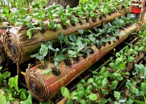 What could be more environmental than this? After harvesting the banana fruit and its leaves: now it is a handy planter. An FB Share by Lambunaonon Takon.