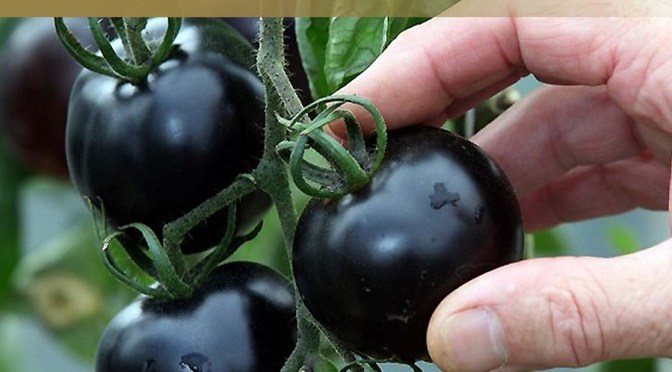UK garden centre grows Britain's first black tomato