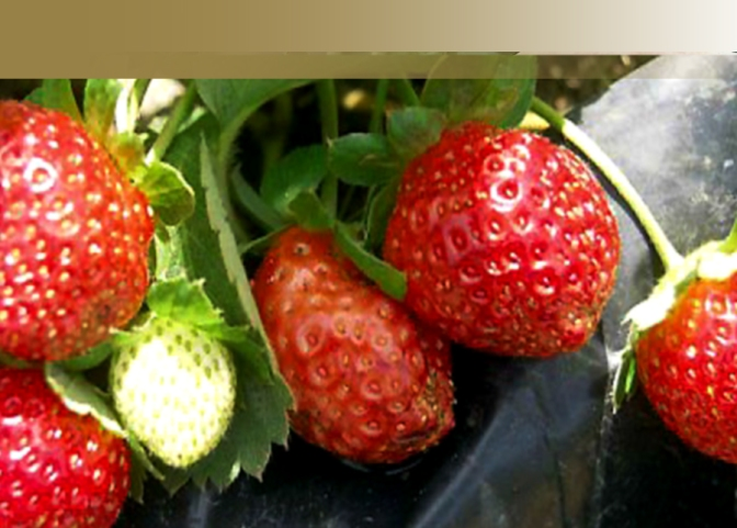Strawberry thrives in unique hot climate in the Philippines