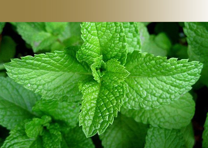 "Health Benefits of "" Mint """