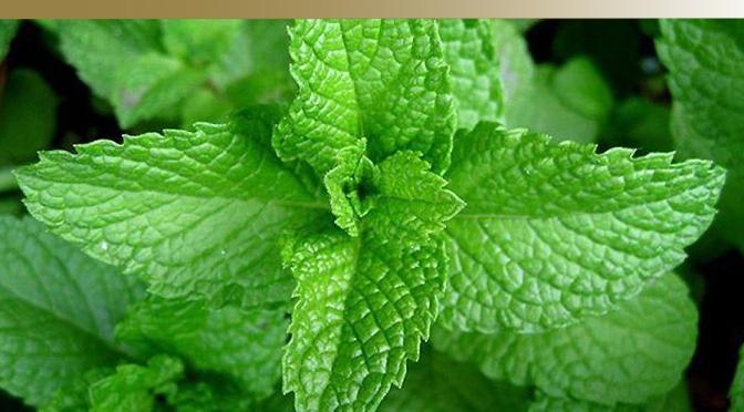"Health Benefits of "" Mint """