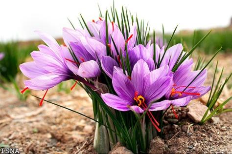 saffronflowers